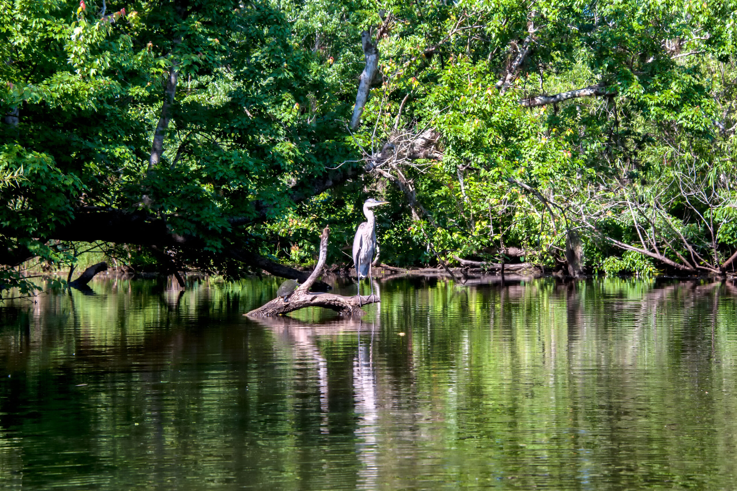 Heron at Turkey Creek