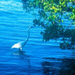 Egret looks for food in the Indian River Lagoon