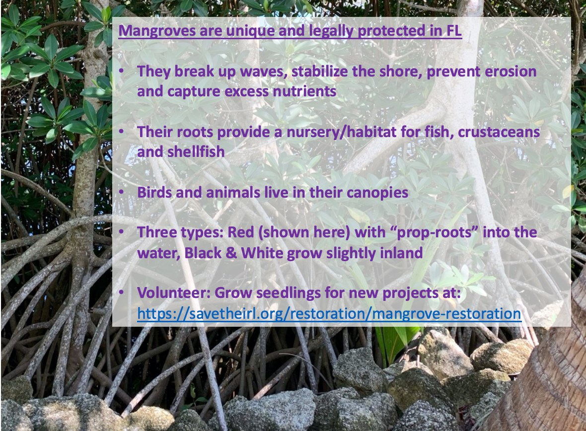 Mangrove education to help the lagoon